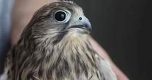 """望京市民捡到的""""小鹰""""经鉴定为国家二级保护动物"""