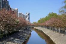 望京排水沟今春水清岸绿